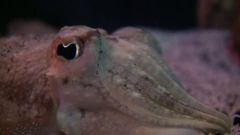 Closeup of a Cuttlefish's watchful eye Footage