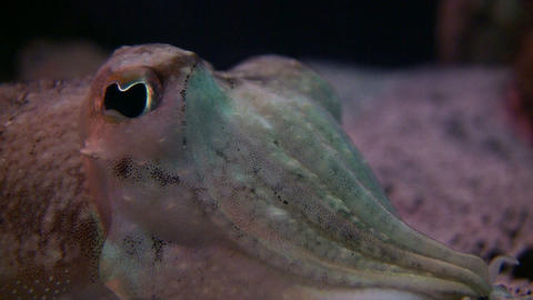 Closeup of a Cuttlefish's watchful eye Stock Video Footage