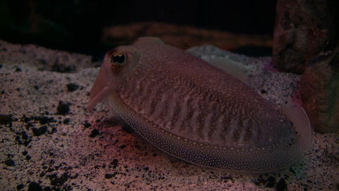 Cuttlefish is resting at the bottom of the tank Stock Video Footage