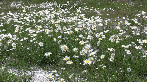 Wild daisies are gently blowing in the wind (High Definition) Footage