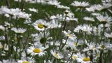 Closeup Of Wild Daisies Swaying In The Wind (High Definition) stock footage