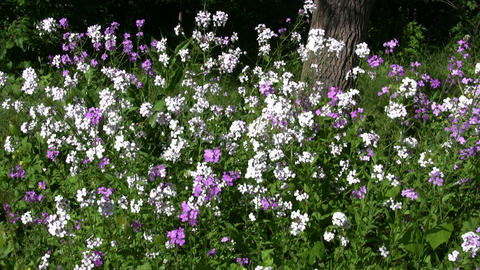 Dame's violet wildflowers gently sway in the wind (High Definition) Live Action