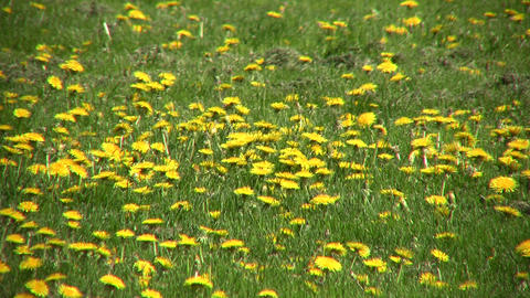 Lots of dandelions are blooming in a field (High Definition) Stock Video Footage