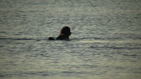 Dog chases after stick in water at sunset (High Definition) Stock Video Footage