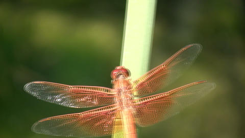 Dragonfly rests on a leaf amidst sunny afternoon (High... Stock Video Footage