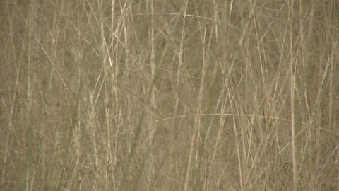 Dry brown grass are swaying in the wind (High Definition) Stock Video Footage