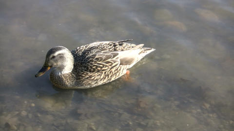 Duck Swimming 08 (High Definition) Stock Video Footage