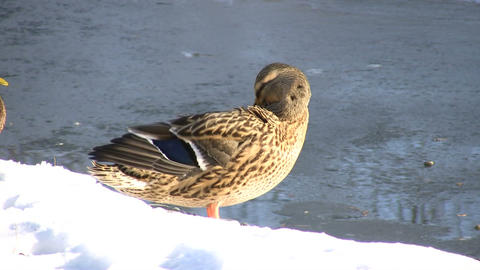 Duck Cleaning Itself On Shoreline (High Definition) Stock Video Footage