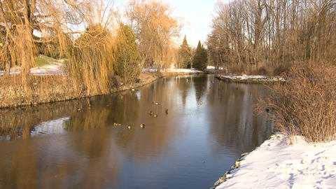 Ducks Swimming In Park River 1 (High Definition) Stock Video Footage