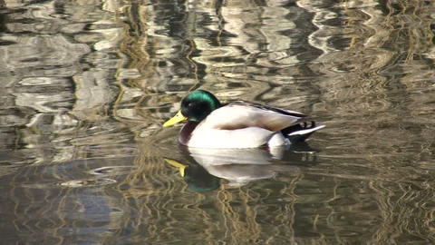 Male Duck Swimming (High Definition) Footage