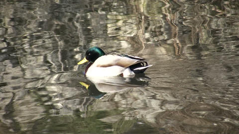 Male Duck Swimming (High Definition) Stock Video Footage