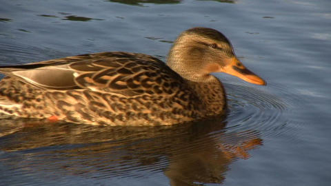 Female Duck Swimming 1 (High Definition) Stock Video Footage
