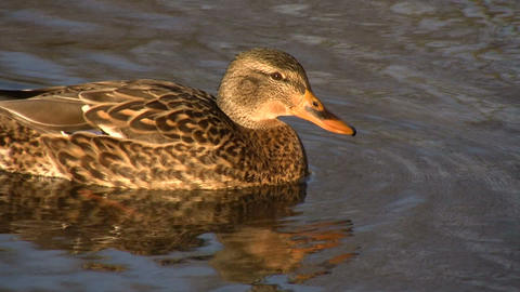 Female Duck Swimming 1 (High Definition) Footage
