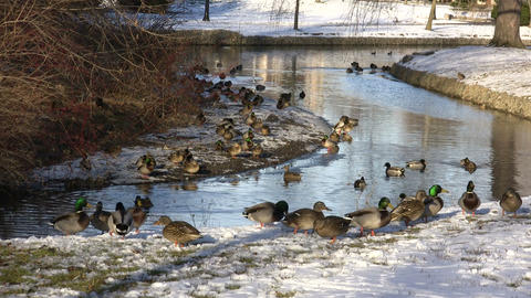 Ducks Walking 03A (High Definition) Footage