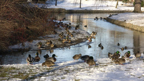 Ducks Walking 03A (High Definition) Stock Video Footage