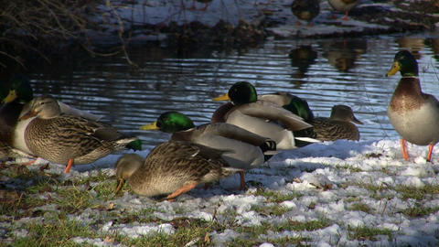 Duck Community 3 (High Definition) Stock Video Footage