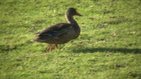 Duck quickly moves across grass on sunny day (High... Stock Video Footage