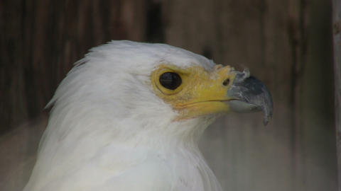 Closeup of an African Fish Eagle looking around (High... Stock Video Footage