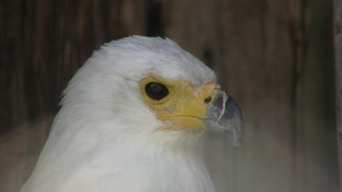 Closeup of an African Fish Eagle looking around (High Definition) Footage