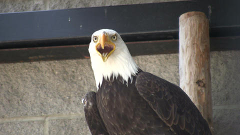 Closeup of Bald Eagle nervously looking around (High... Stock Video Footage