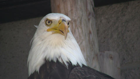 Closeup Of Bald Eagle Nervously Looking Around (High Definition) stock footage