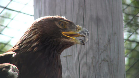 Closeup of Golden Eagle nervously looking around (High... Stock Video Footage
