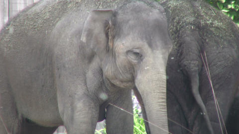 Pair of elephants relax in the shade (High Definition) Stock Video Footage