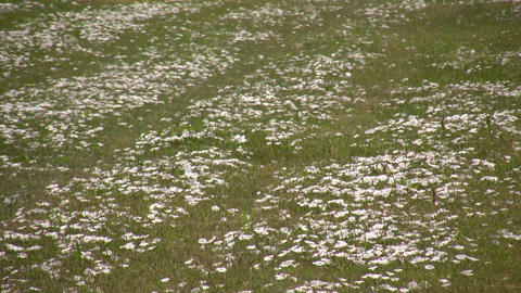 Some field bindweed wildflowers are absorbing the... Stock Video Footage