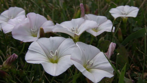 Some field bindweed wildflowers are absorbing the sunlight (High Definition) Footage