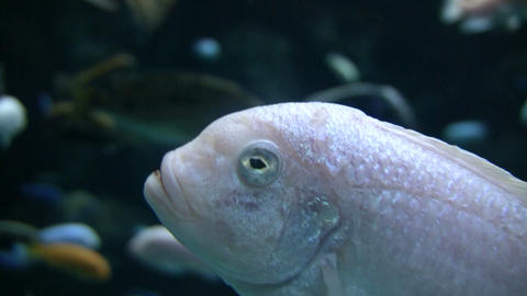 Small fish swims around the aquarium (High Definition) Stock Video Footage