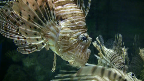 Beautiful Lionfish are swimming through the aquarium... Stock Video Footage