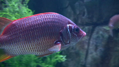 Close-up of a purple fish Stock Video Footage
