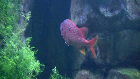 Close-up of a purple fish Footage