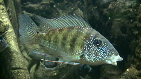 Pair of Earth Eater fish resting in the water Footage