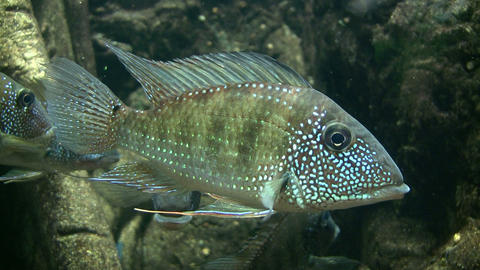 Pair of Earth Eater fish resting in the water Stock Video Footage