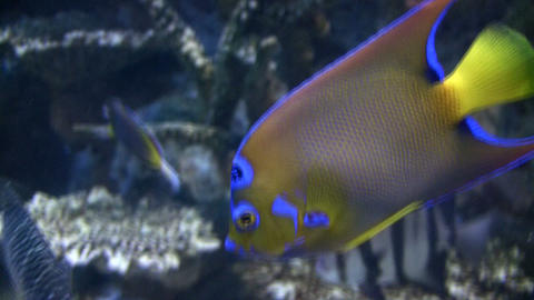 Close-up of an orange, blue, and yellow fish Footage