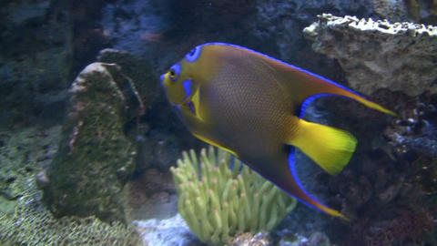 Close-up of an orange, blue, and yellow fish Stock Video Footage