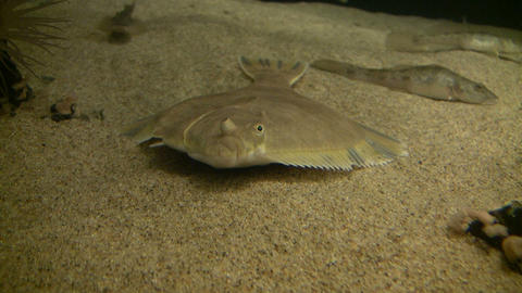 Flatfish is resting at the bottom of the water Footage
