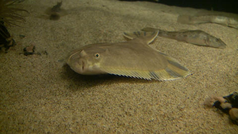 Flatfish is resting at the bottom of the water Stock Video Footage