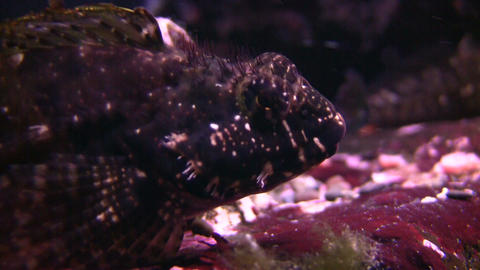 Bottom dwelling fish is hanging out at bottom of water Stock Video Footage