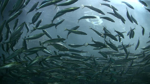 School of fish are swimming against the backlit water Footage