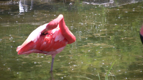 Pink flamingo is cleaning itself in a pond (High Definition) Stock Video Footage
