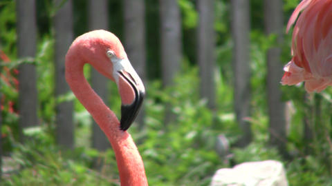 Closeup of a pink flamingo cleaning itself (High Definition) Footage