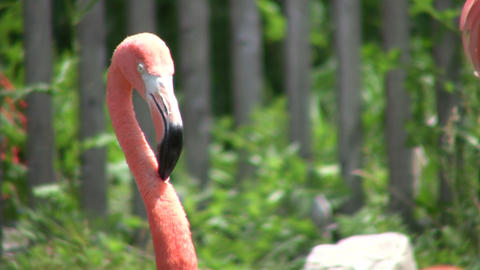 Closeup of a pink flamingo cleaning itself (High Definition) Stock Video Footage