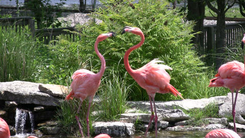 Fighting flamingos! Catch all the action here (High Definition) Footage