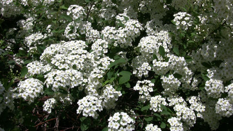 Spiraea Betulifolia 'Tor' flowering bush gently sways (High Definition) Footage