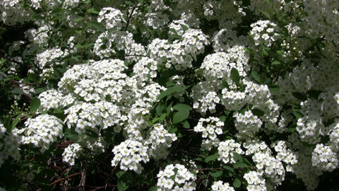 Spiraea Betulifolia 'Tor' flowering bush gently sways... Stock Video Footage