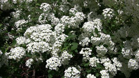 Spiraea Betulifolia 'Tor' flowering bush gently sways... Stock Video Footage