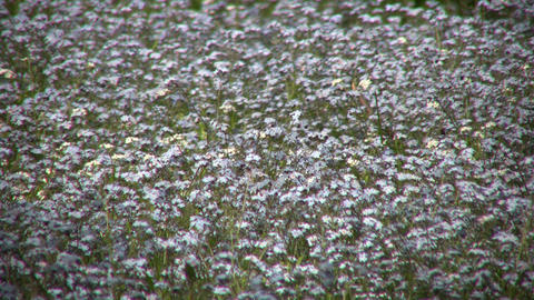 Lots of forget-me-nots are blooming in a field (High Definition) Footage