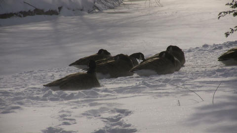 Winter scenic of geese resting in the snow (High Definition) Footage